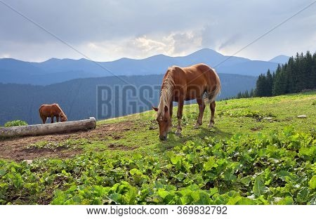 Beautiful Horses On A Pasture On Background Mountain Range Of Chernogor Wiht The Highest Points Of U