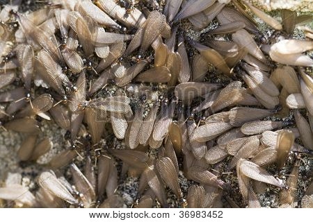 Swarm Of Winged Termites