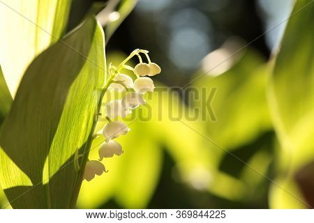 Lily lilly of the valley forest spring mayflower Nature background Closeup Nature White flowers Nature background may morning Nature background Macro Nature background sun Nature background fresh leaf Nature background outdoor Nature background Wildflower