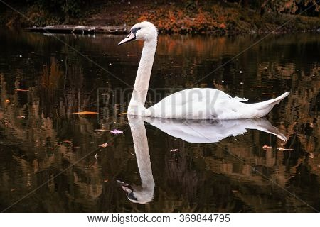 A Graceful White Swan Swimming On Autumn Lake With Dark Water. The White Swan Is Reflected In The Wa