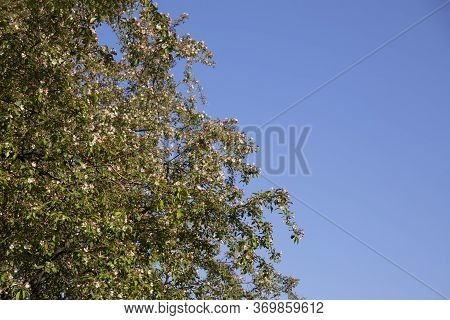 Beautiful Nature Scene With Blooming Tree And Blue Sky Background