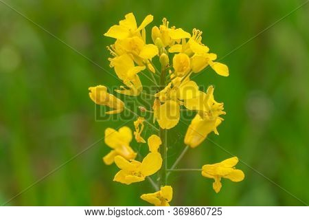 Close Up Of Rapeseed Or Rapeseed Flowers Used For Alternative Energy Against A Blurry Green Backgrou