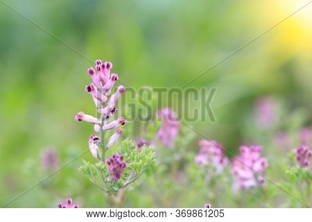 Single Foxglove Flower With Green Background And Sunlight