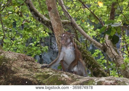 Palawan, Ph -  Nov 29 - Monkey On Tree At Puerto Princesa Subterranean River National Park Undergrou