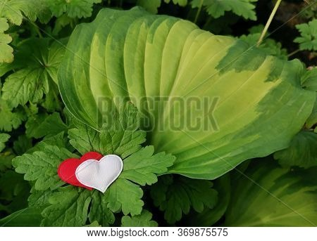Red And White Hearts On Large Green Leaves Of Plants With Dew Or Rain Drops. Beautiful Natural Backg