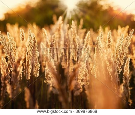 Dry Seeds Of High Grass In Late Afternoon, Beautiful Landscape In Sunset (dusk)