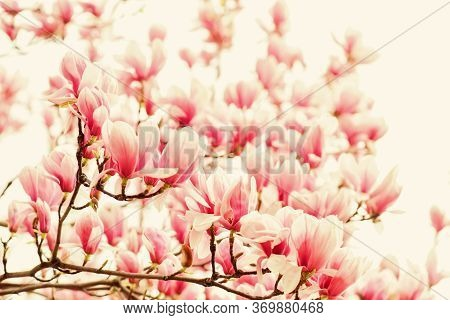 Botanical Garden Concept. Aroma And Fragrance. Spring Season. Botany And Gardening. Branch Of Magnol