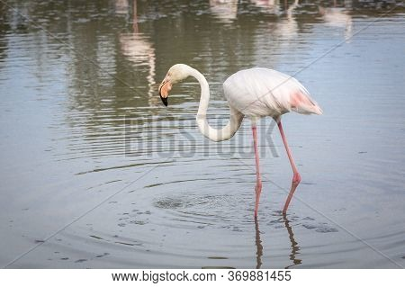 Flamingo In The Camargue District In Southern France
