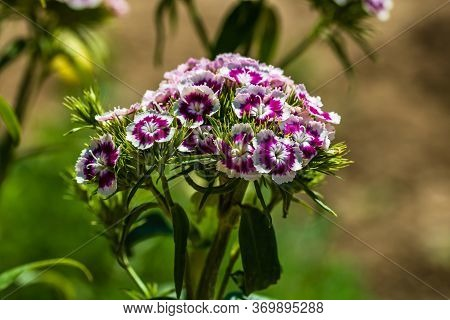 Colorful Dianthus Flower (dianthus Chinensis) Blooming In Garden, Close Up,