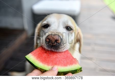 Labrador Retriever Eats With An Appetite Watermelon From Hands. Selective Focus.