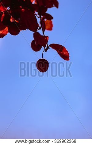 False Plum Tree Fruit With Garnet Hue With Orange, Garnet And Reddish Leaves Making Natural Compleme