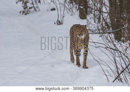 Cheetah Slim In Winter On Snow