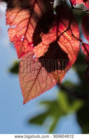 False Plum Tree With Garnet Hue With Garnet, Orange And Reddish Leaves And Blue Sky Making Natural C
