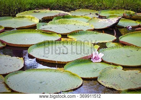 Victoria Amazonica, With Floating Round Leaves In The Form Of A Plate On The Surface Of The Water Wi