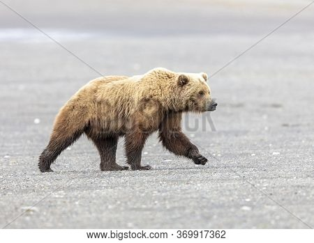 Large Male Alaskan Brown Bear Taking A Walk Along A Beach In Lake Clark