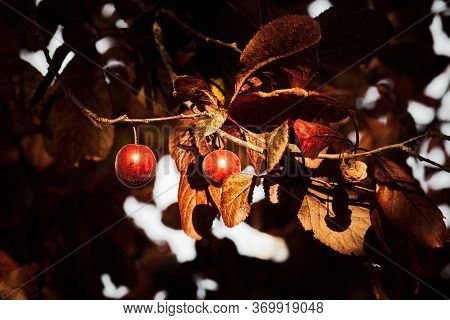 False Plum Tree With Fruit Hanging With Garnet Hue And Garnet, Orange And Reddish Leaves