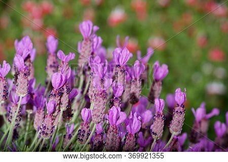 Lavandula, Lavandula Angustifolia, Purple Flowers In Nature In California- Greeting Card Background