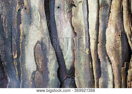 The Bark Of A Young Coastal Redwood, Sequoia Sempervirens- Texture Or Background