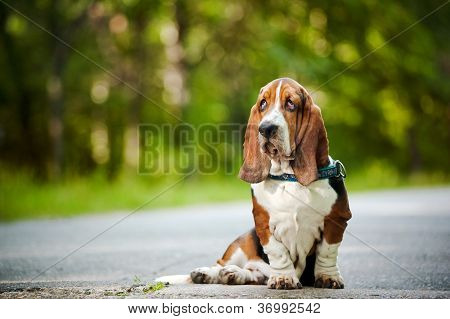 Dog Basset hound sitting and looks forward poster