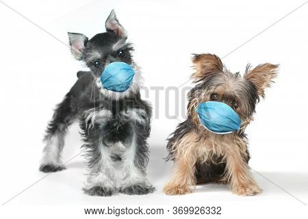 Adorable Yorkshire Terrier  and Schnauzer Puppy Wearing PPE Mask