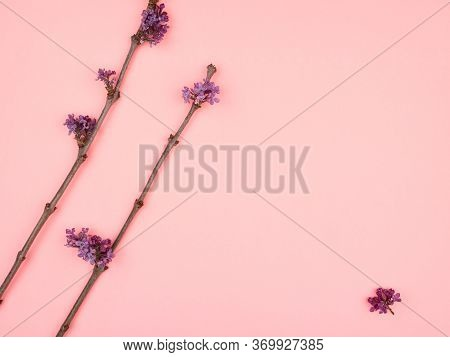 Twigs Purple Lilacs On Pink Background. Minimalism.
