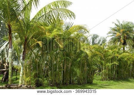 Palm Tree Adorned Garden On White Background.