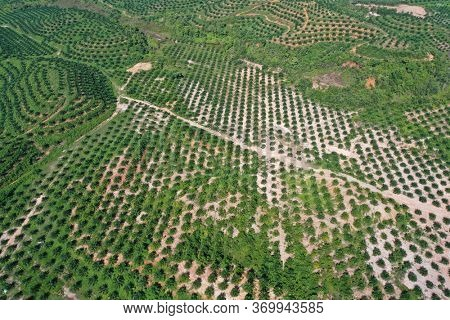 Aerial photo of palm oil and rubber tree plantations