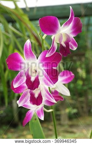 Close Up Purple Orchid Flower In Nature Garden