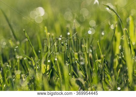 Close Up Of A Fresh Morning Dew Drops On Blades Of Green Grass With Bokeh Effect In Bright Morning S