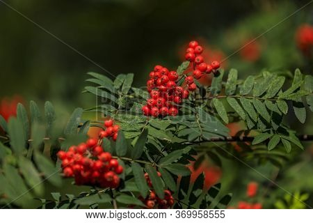 Branch With Bright Red Rowanberries Or Ashberry On An Ash Tree With The Background Of Green Tree Lea