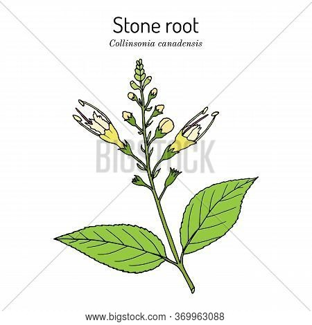Stone Root Collinsonia Canadensis , Or Knob Grass, Hardhack, Heal-all, Rich Weed, Medicinal Plant. H