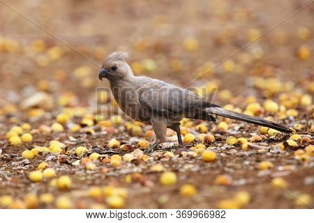 The Grey Go-away-bird (corythaixoides Concolor), Also Known As Grey Lourie, Grey Loerie, Or Kwêvoël