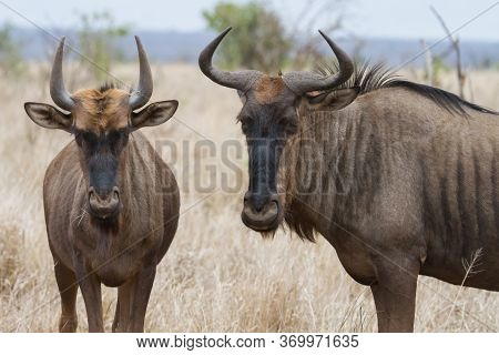 Closeup Pair Of Blue Wildebeest (gnu) Looking Annoyed And Bothered With Bokeh In Kruger, South Afric