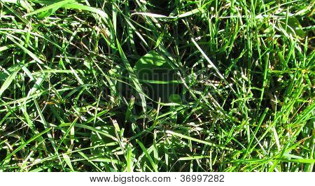 Minnesota Grass