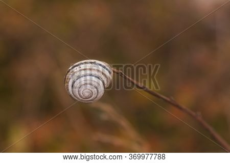 Conch Snail On A Branch On A Brown Background