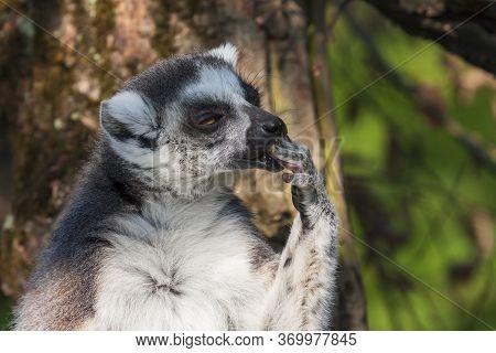Portrait Of Lemuriformes - Lemur In Park With Nice Background