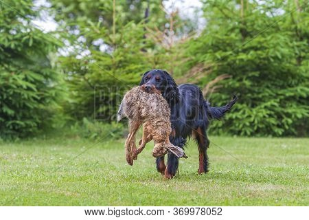 The Black Dog Gordon Setter Sits On A Meadow And Has A Hare In His Mouth That He Retrieved.