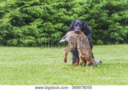 The Black Dog Gordon Setter Sits On A Meadow And Has A Hare In His Mouth