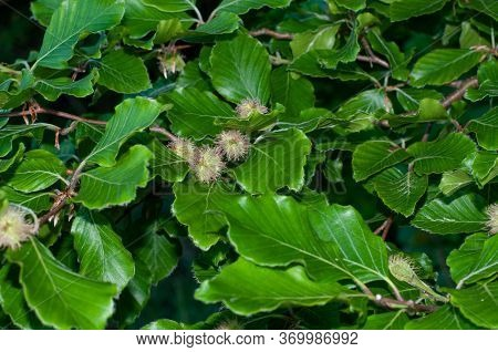 Close-up Of Green Foliage And Hairy Cupules At A Beech Tree