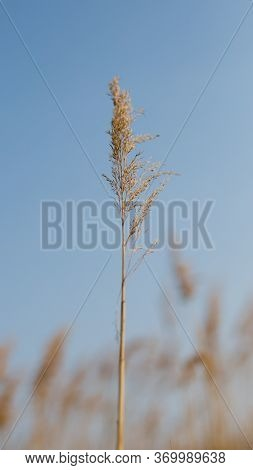 Dry Reed And Bright Blue Sky. Reed Grass Pumped By The Wind, Natural Background.