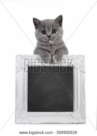 Cute Blue Tortie British Shorthair Cat Kitten, Standing Behind And Holding Up A Black Board Filled W