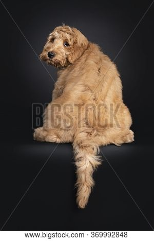 Cute Labradoodle Pup, Sitting Backwards. Looking Over Shoulder Towards Camera With Droopy Eyes. Isol