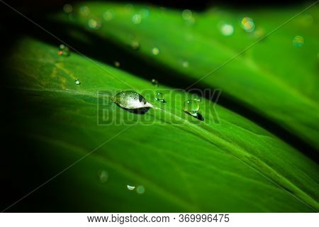Beautiful Shining Water Droplets On Leaf. Morning Due Droplets On Colocasia Esculenta Leaves.