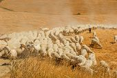 Herd of sheep in a field of Tuscany poster