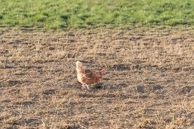 Brown Chicken Live Outdoors At Bio Poultry Farm Grass Meadow. Rural Agriculture Scene With Free Happ