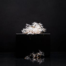 Downy Dandelion Seeds On The Podium On A Black Background. Cloud Of Blowball.