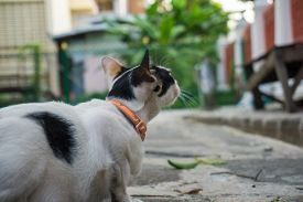 Traditional Asia White Cat On Street