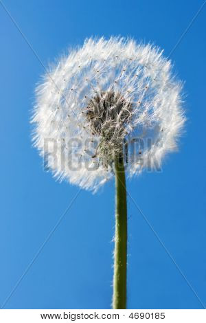 Dandelion over blue sky. Useful for spring themes or serenity joy freshness concepts. poster