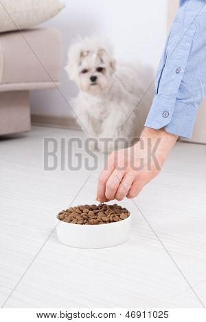 Little dog maltese waiting for eating his food from a bowl in home