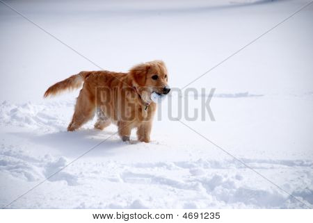 poster of A young golden retriever playing in the snow.